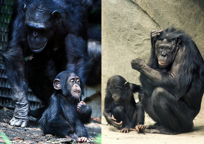 Chimpanzee and bonobo mothers