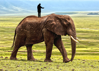 tiny man trying to direct an elephant